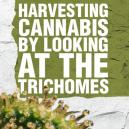 Harvesting Cannabis By Looking At The Trichomes