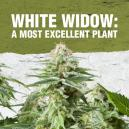 White Widow: A Most Excellent Plant