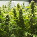 Best Ways To Increase Your Cannabis Yield
