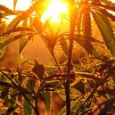 Growing Cannabis Outdoors: How Much Sunlight Do Plants Need?