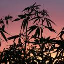 Why The Dark Cycle Is Important For Cannabis