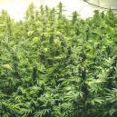 Growing Different Strains In The Same Room