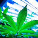 Using LEC Lights For Growing Cannabis