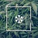 Growing Marijuana In Cold Weather