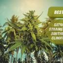 Best Sativa Cannabis Strains For Southern Climates