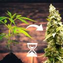 6 Steps To Getting Maximum Yields From Autoflowering Strains