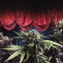Most Productive Zambeza Cannabis Strains