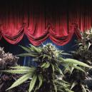 Most Productive Zambeza Cannabis Strains