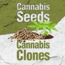 Cannabis Seeds Vs. Cannabis Clones