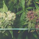 How To Grow Purple Cannabis