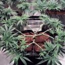How to Main-Line Cannabis