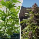 Moving Cannabis Plants from Indoors to Outdoors