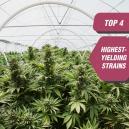 Top 4 Highest-Yielding Cannabis Strains From Zambeza