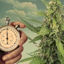 Light Schedules For Autoflowering Cannabis Plants