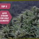Top 5 Auto Zambeza Strains For Cold Climates
