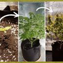 Growing Stages Of The Cannabis Plant