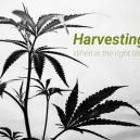 Harvesting Your Cannabis, When Is The Right Time?