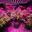 Growing Cannabis: 5 Tips for LED Growers