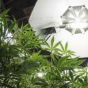 Lighting schedules for cannabis plants