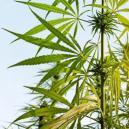 The Anatomy Of A Cannabis Plant