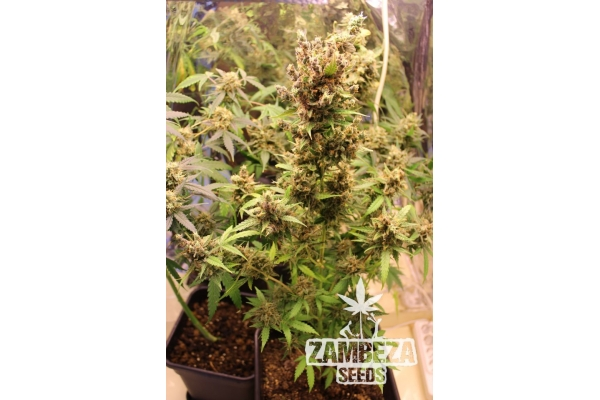 Candy Caramelo Autoflowering